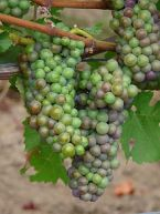 220px-Pinot_Noir_Grapes_-_Cristom_Vineyard_-_Oregon_in_early_veraison