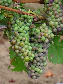 220px-Pinot_Noir_Grapes_-_Cristom_Vineyard_-_Oregon_in_early_veraison