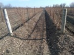 Hilled vines for winter protection.