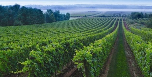 Lucket Vineyard