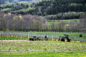 Vineyard workers at Benjamin Bridge in the Gaspereau Valley